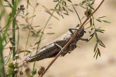 egyptisk gräshoppa Royaltyfri Foto