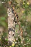 egyptisk gräshoppa Royaltyfri Bild