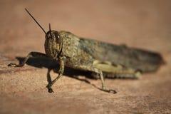Egyptisk gräshoppa - Anacridium aegyptium Arkivfoton