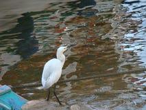 Egyptisk heron Arkivfoton
