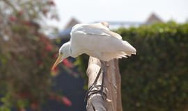 egyptisk heron ibis för bubulcus Arkivfoto