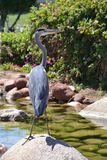 egyptisk heron ibis för bubulcus Royaltyfri Bild