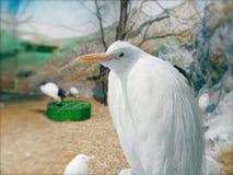 Egyptisk heron royaltyfria foton