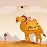 Egyptisk kamel Arkivfoto