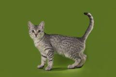 Egyptisk katt i den isolerade studion Arkivbild