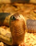 Egyptisk kobra Royaltyfri Foto