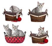 Egyptiska Mau katter i korgar Fotografering för Bildbyråer