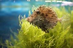 Egzot dostrzegająca ryba Fotografia Stock