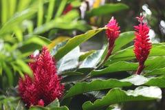 Egzot rośliny w wyspach karaibskich Zdjęcia Royalty Free