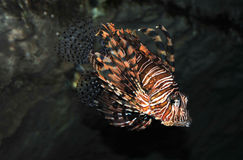 egzot ryba Fotografia Royalty Free