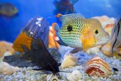 Egzot ryba na dnie Zdjęcia Stock