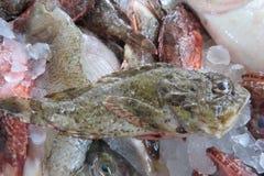 Egzot ryba od Adriatyckiego morza Zdjęcia Royalty Free