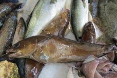 Egzot ryba od Adriatyckiego morza Obrazy Royalty Free