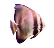 Egzot ryba odizolowywająca na białym tle Fotografia Stock