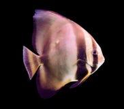 Egzot ryba odizolowywająca na czarnym tle Zdjęcia Royalty Free