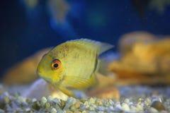 Egzot ryba przy dnem Zdjęcie Royalty Free