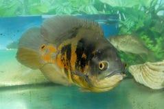 Egzot ryba w akwarium Zdjęcia Royalty Free