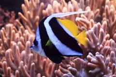 Egzot ryba w morzu Zdjęcie Royalty Free
