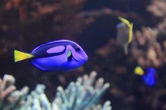 Egzot ryba w morzu Zdjęcia Royalty Free