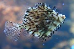 Egzot ryba w morzu Obrazy Royalty Free