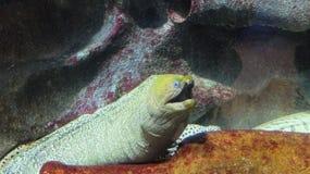 Egzot ryba w St Petersburg oceanarium (Zasznurowywająca murena) Obrazy Royalty Free