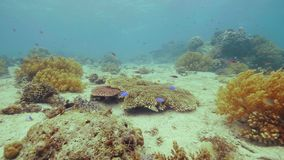 Egzot rybia pływacka pobliska rafa koralowa na dennym dnie Podwodny krajobrazowy tropikalny rybi dopłynięcie w ocean wodzie patrz zdjęcie wideo