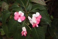 Egzota różowy i biały kwiat Fotografia Royalty Free