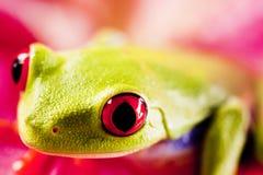 egzotyczna żaba Fotografia Royalty Free