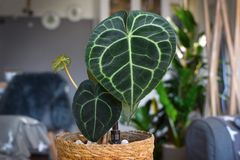 Egzotyczna Anthurium Clarinervium roślina z ovate, lobed liśćmi które tworzą pięknego koronka wzór z białawą żyłą, zdjęcie stock