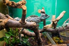 Egzotyczna jaszczurka w terrarium Zdjęcia Stock