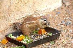 Egzotyczna wiewiórka Obrazy Stock