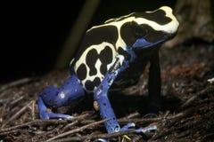 egzotyczne żaba Zdjęcia Stock