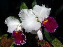 Egzotyczne Białe i Purpurowe orchidee Zdjęcia Royalty Free