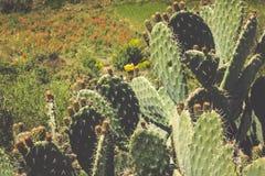 egzotyczne rośliny Close-up kłujący kaktus Obrazy Stock
