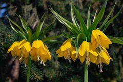 Egzotycznego żółtego Fritillaria Cesarski kwiat na zamazanym tle jedlinowe gałąź zdjęcia royalty free