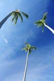egzotyczni drzewka palmowe Zdjęcia Royalty Free