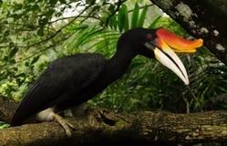Egzotyczni ptaki świat Malajski gomray - wielcy gatunki dzioborożec Fotografia Stock