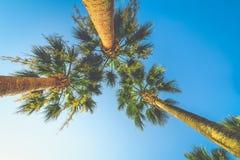 Egzotyczni tropikalni drzewka palmowe przy latem, widok od dna do nieba przy słonecznym dniem Obraz Stock