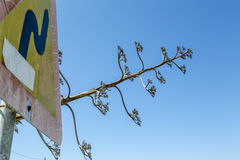 Egzotyczny agawy i ruchu drogowego znak Obraz Royalty Free