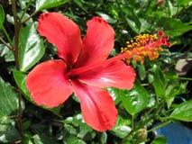 Egzotyczny czerwony poślubnika kwiat, roślina i Fotografia Royalty Free