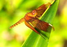 Egzotyczny Dragonfly na Zielonym urlopie zdjęcia royalty free