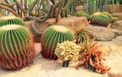 Egzotyczny gigantyczny kaktus w ogródzie Zdjęcie Royalty Free