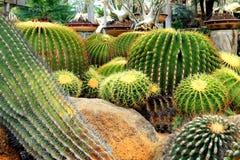 Egzotyczny gigantyczny round kaktus w ogródzie Zdjęcia Stock