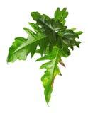 Egzotyczny Hybrydowy filodendronu liść, Zieleni liście odizolowywający na białym tle filodendron Zdjęcia Royalty Free