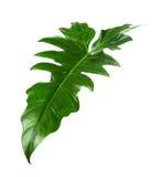 Egzotyczny Hybrydowy filodendronu liść, Zieleni liście odizolowywający na białym tle filodendron Obrazy Royalty Free