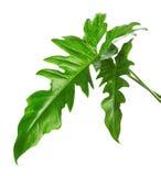 Egzotyczny Hybrydowy filodendronu liść, Zieleni liście odizolowywający na białym tle filodendron fotografia royalty free