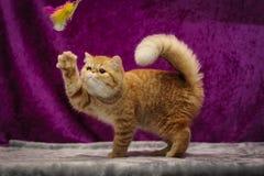 Egzotyczny kot w akci Obraz Royalty Free