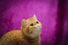 Egzotyczny kota patrzeć Obraz Royalty Free