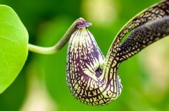 Egzotyczny kwiat kształtujący jak kurczak Zdjęcia Royalty Free