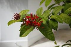 Egzotyczny kwiat przy kurort plażą przy Maldives Obrazy Royalty Free